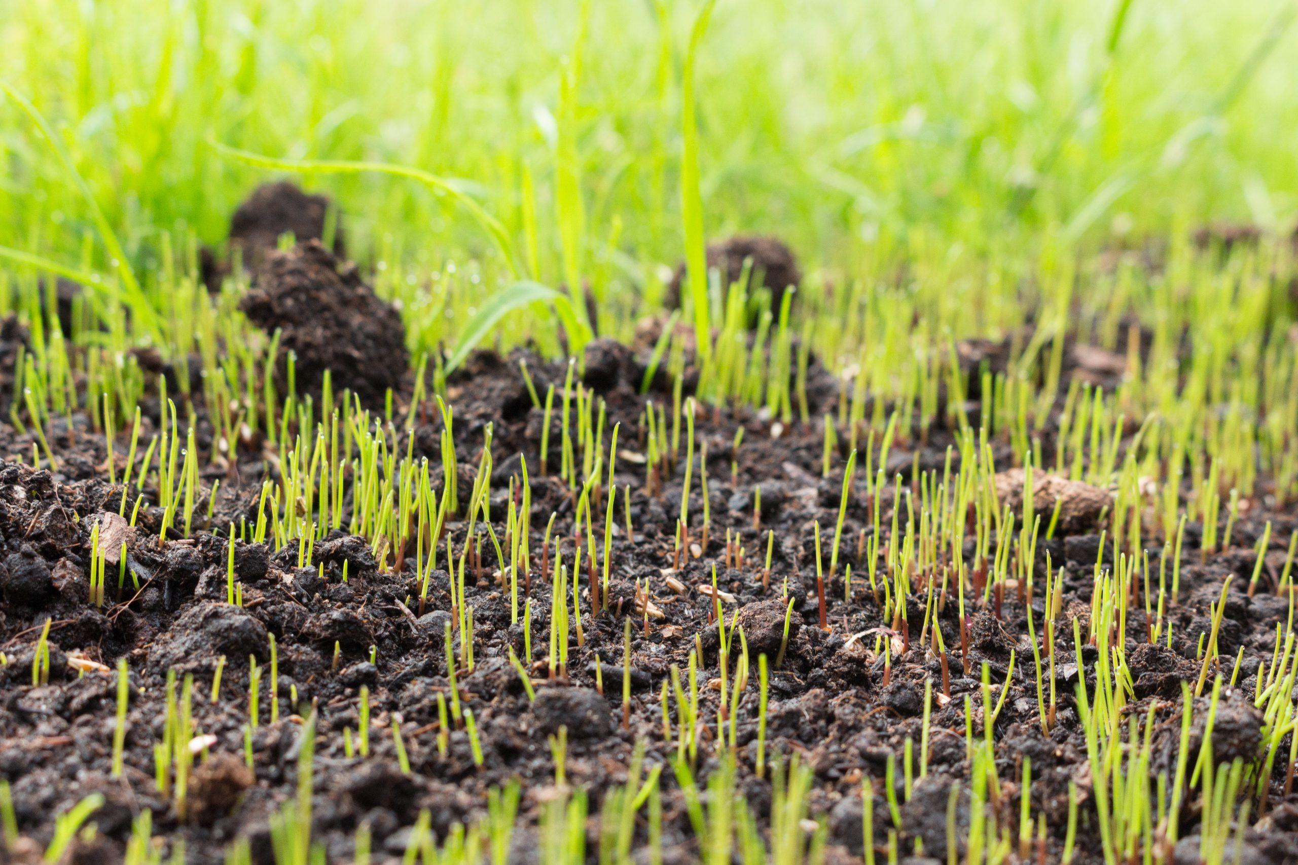 Growing grass plants