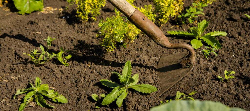 Hoeing weeds