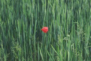 Red fescue with a single red poppy