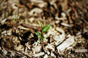 Mulch around a new seedling