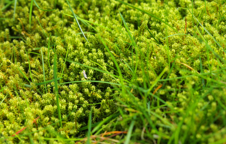 Lawn in serious need of moss killer