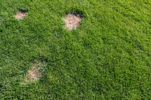 Leatherjacket damage on a lawn