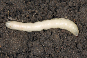 Leatherjacket grub on soil
