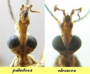 Crane fly Paludosa and Oleracea