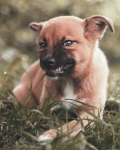 Little dog eating grass
